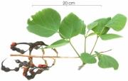 Erythrina costaricensis fruit plant