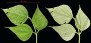 Erythrina costaricensis leaf