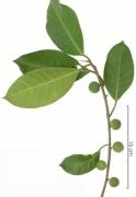 Ficus maxima fruit plant