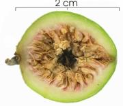 Ficus maxima seed-wet