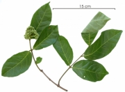 Forsteronia myriantha flower-bud plant
