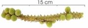 Geonoma cuneata Infructescences
