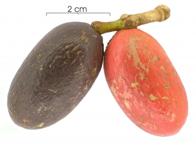 Gnetum leyboldii var woodsonianum fruit