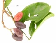 Gnetum leyboldii var woodsonianum fruit plant
