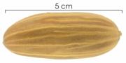 Gnetum leyboldii var woodsonianum seed-dry
