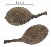Guatteria amplifolia immature-fruit