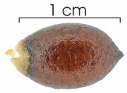 Guatteria amplifolia seed-wet