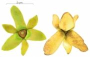 Guatteria dumetorum flower