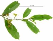 Guatteria dumetorum flower plant