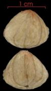 Herrania purpurea seed-wet