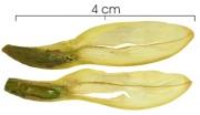 Hippocratea volubilis damaged-fruit