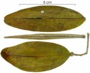 Hippocratea volubilis fruit