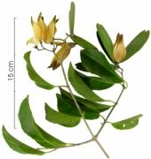 Hippocratea volubilis fruit plant