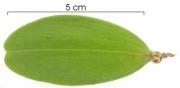 Hippocratea volubilis immature-fruit