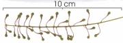 Hirtella racemosa immature-Infructescences