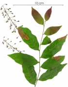 Hirtella racemosa immature-fruit plant