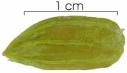 Hirtella racemosa seed-wet