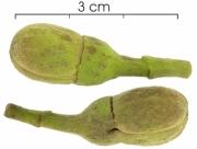 Hymenaea courbaril flower-bud
