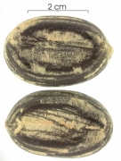 Hymenaea courbaril seed-dry