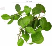 Inga laurina flower-bud plant