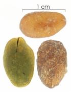 Inga marginata seed-dry