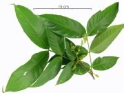 Inga pezizifera flower-bud plant