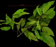 Inga punctata fruit plant