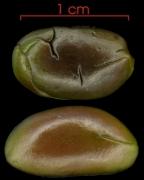 Inga punctata seed-wet