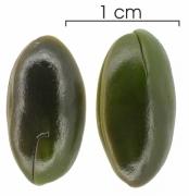 Inga thibaudiana subsp thibaudiana seed-wet
