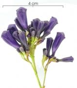 Jacaranda caucana subsp sandwithiana Inflorescence buds