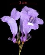 Jacaranda caucana subsp sandwithiana flower