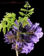 Jacaranda caucana subsp sandwithiana flower plant