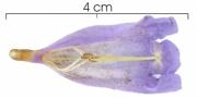 Jacaranda copaia subsp spectabilis flower