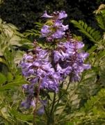 Jacaranda copaia subsp spectabilis Inflorescence