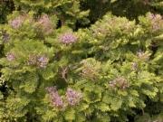 Jacaranda copaia subsp spectabilis flower plant