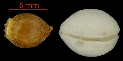 Lacistema aggregatum seed-wet