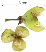 Laetia procera fruit