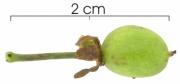 Laetia procera immature-fruit