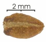 Laetia procera seed-dry