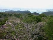 Tabebuia rosea, BCI and Lake Gatun