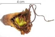 Lafoensia punicifolia flower