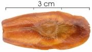 Lafoensia punicifolia seed-dry