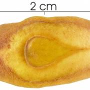 Lafoensia punicifolia seed-wet