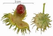 Lindackeria laurina fruit