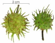 Lindackeria laurina immature-fruit