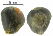 Lindackeria laurina seed-wet