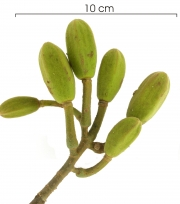 Luehea speciosa Inflorescence buds