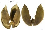 Mabea occidentalis capsule