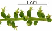 Mabea occidentalis flower-bud