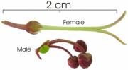 Mabea occidentalis flower